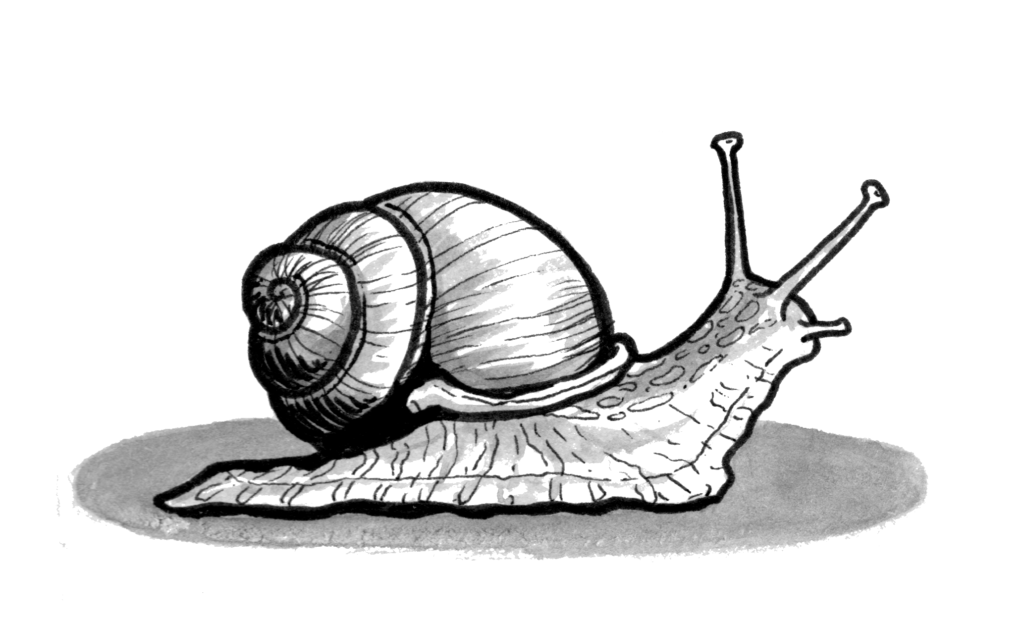 A pen and ink illustration of a snail, moving along slowly from left to right.